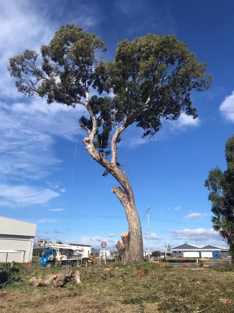 Gum tree sectional felling