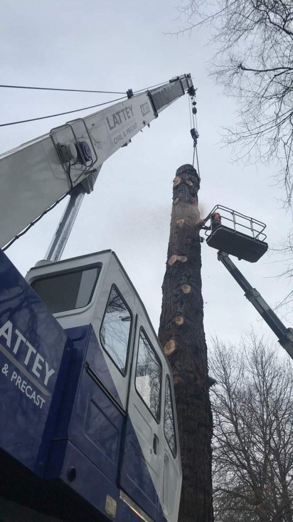 Crane dismantling Ceder tree